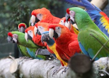 macaws_about_to_fly_at_paradise_park_cornwall_0